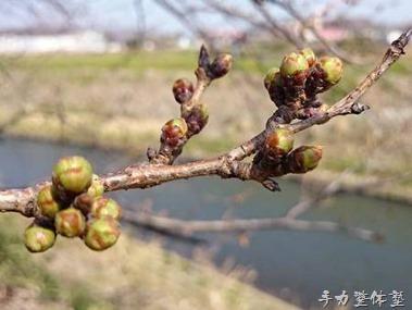 湘南台の桜2015