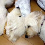 犬の整体師養成講座再開のお知らせ