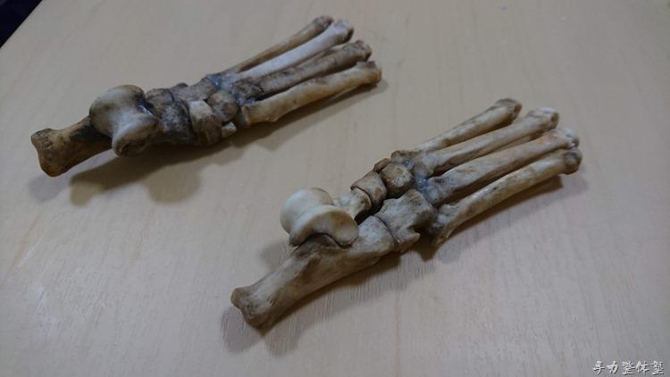犬の足根骨