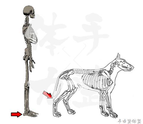 人と犬の踵の位置