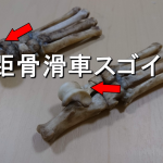 犬の骨格標本作成第二段、足根骨の巻。