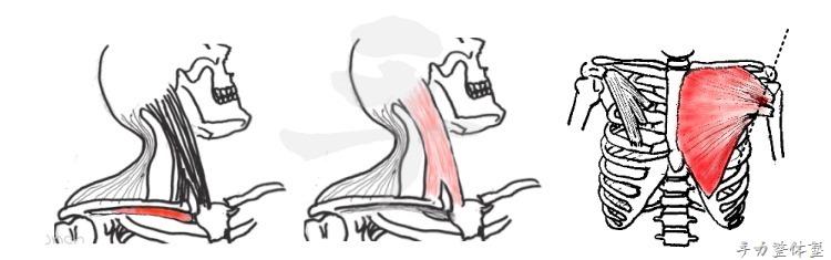 鎖骨について間接的に肩甲骨を動かす筋肉