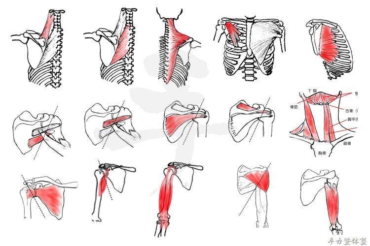 肩甲骨に付着して肩甲骨の動きに関与する筋肉一覧
