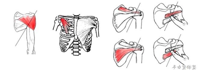 立甲の際に収縮させたい筋肉