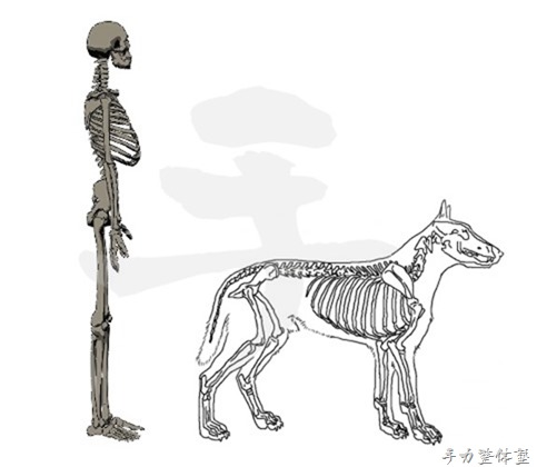 人と四足動物との肩甲骨の違い