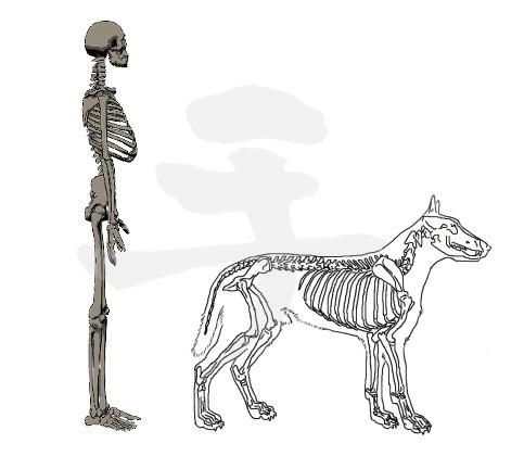 人と犬の骨格を知り何故かを考えると整体がより面白くなる